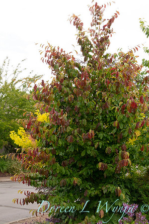 Parrotia persica_3951