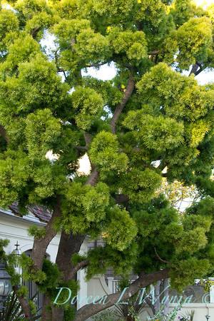 Podocarpus gracilior_039