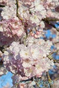Prunus serrulata Amanogawa_2542