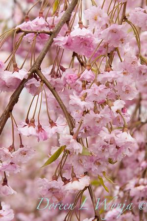 Prunus Pleno-rosea_019