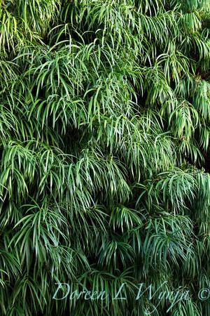Podocarpus henkelii_008