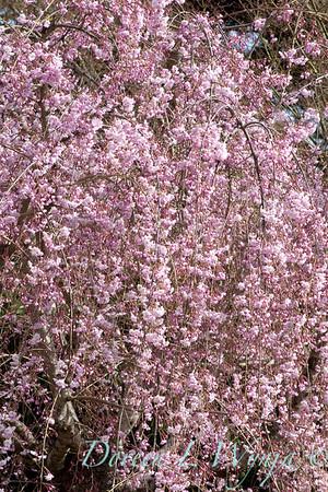 Prunus pendula Pleno Rosea_002