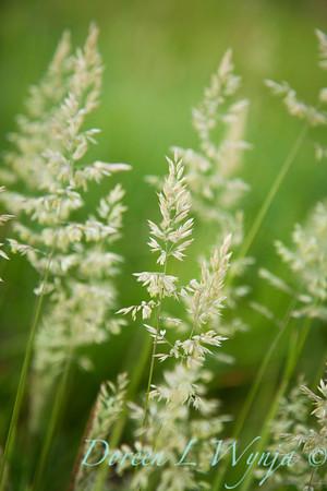 Poa grass_005