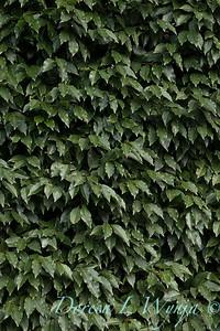 Prunus lusitanica - Portuguese laurel_1207