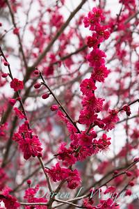 Prunus mume 'Matsubara Red' blooms_1229