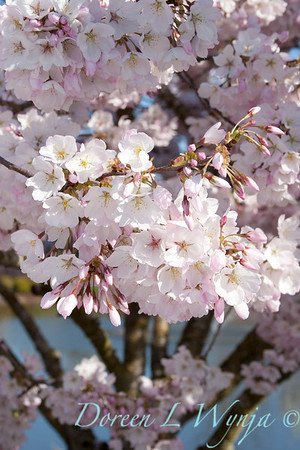 Prunus serrulata Mount Fuji_007