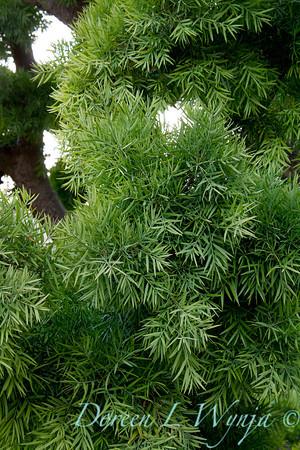 Podocarpus gracilior_037