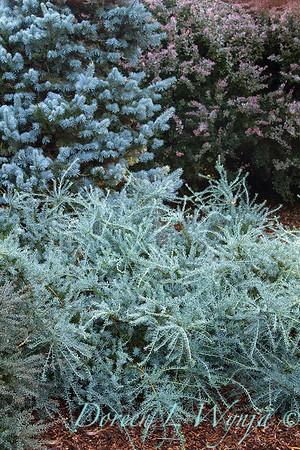 Podocarpus alpinus 'Blue Gem'_455