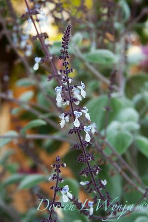 Plectranthus argentatus_005