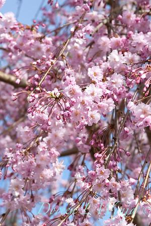 Prunus pendula Pleno Rosea_003