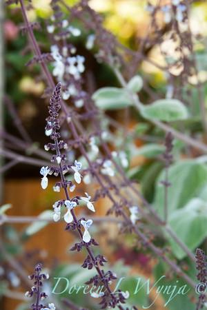 Plectranthus argentatus_003