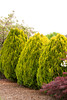 Platycladus orientalis Aurea Nana_006M