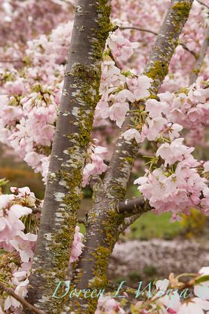 Prunus Yedoensis Akabono_008