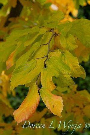 Parrotia persica_004