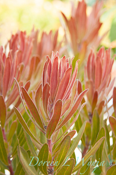 Protea Pink Ice_003