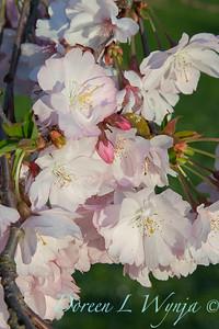 Prunus serrulata Amanogawa_2543