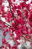 Prunus mume 'Matsubara Red' blooms_1231