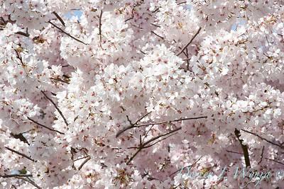Prunus serrulata Mount Fuji_024