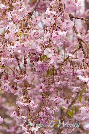 Prunus Pleno-rosea_016