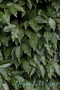 Prunus lusitanica - Portuguese laurel_1208