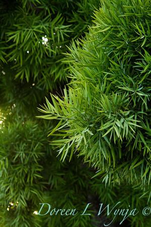Podocarpus gracilior_036