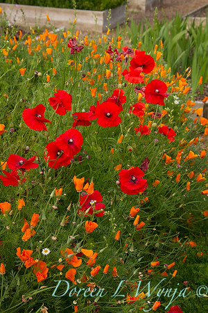 Papaver somniferum - Escholtzia Poppies_041