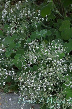 Pelargonium tomentosum_3720