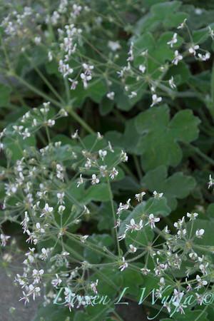 Pelargonium tomentosum_3716