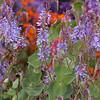 Parahebe perfoliata - purple_0595