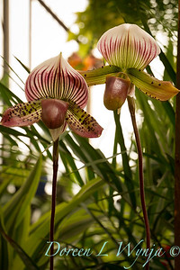 Paphiopedilum Hsinying Love X Laser 'Hsinying Flame'_1907