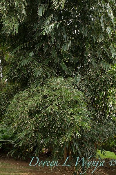 Phyllostachys nigra_9608