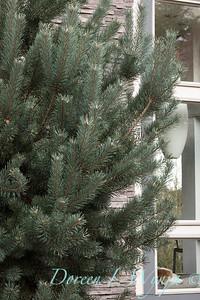 Pinus sylvestris 'Glauca Nana'_1302