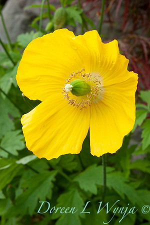 Papaver nudicaule 'Summer Breeze Yellow'_0105