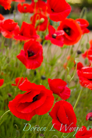 Papaver somniferum poppies_043