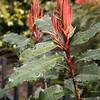 Photinia serratifolia 'Crunchy' red_1261