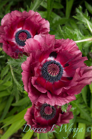Papaver orientale Patty's Plum_005