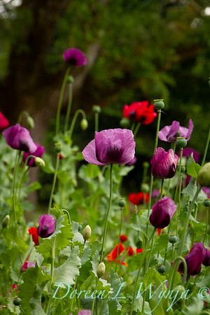 Papaver somniferum 'Dark Plum' patch_7133