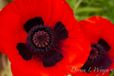 Papaver somniferum red poppy_023