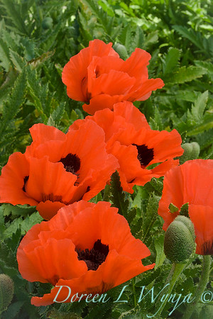 Papaver orientale 'Castagnette' orange_1020