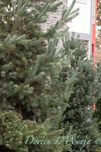 Pinus sylvestris 'Glauca Nana'_1297