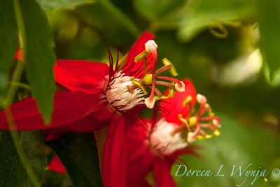 Passiflora vitifolia Crimson_006