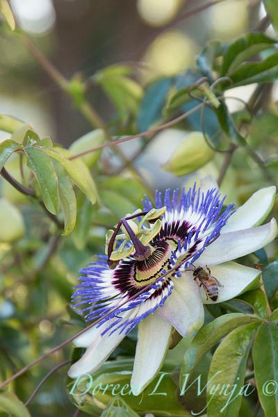 Passiflora caerulea - bee_8168A