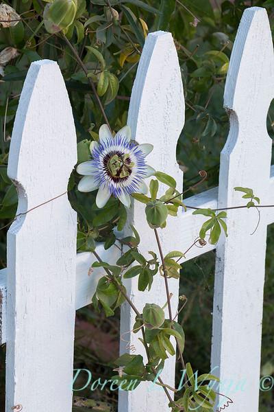 Passiflora caerulea - picket fence_8166