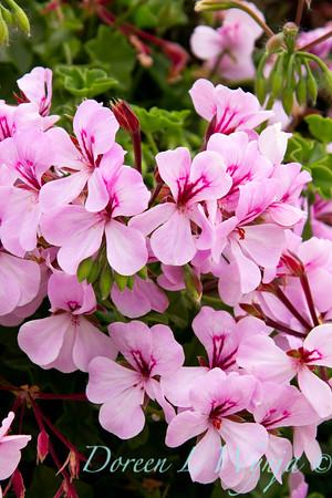 Pelargonium peltatum_020