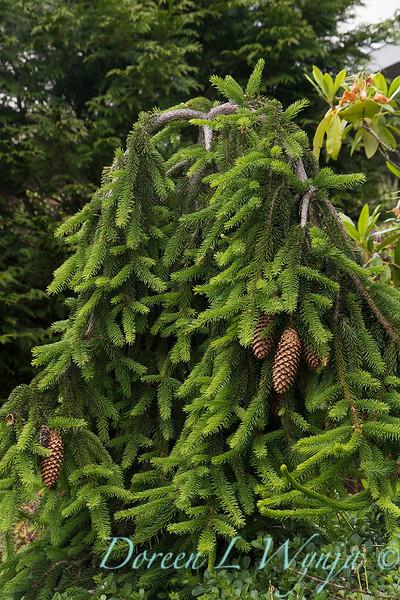 Picea abies Acrocona_005