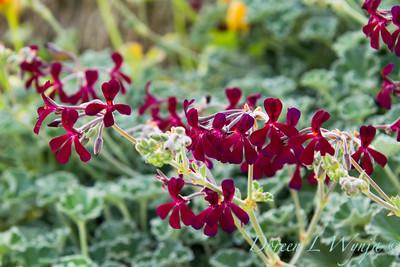 Pelargonium sidoides_043