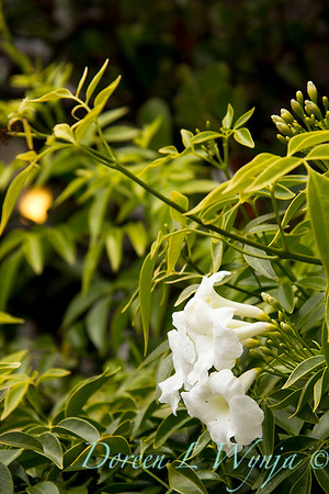 Pandorea jasminoides Alba_010