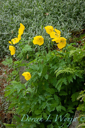Papaver nudicaule 'Summer Breeze Yellow'_0101