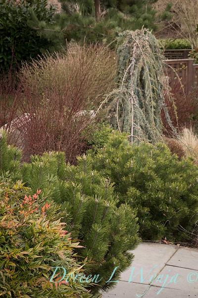 Pinus mugo var  pumilio - Nandina domestica 'Gulf Stream' - Berberis thunbergii 'Helmond Pillar' - winter interest_1316