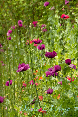 Papaver somniferum 'Dark Plum' patch_7127
